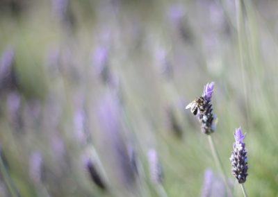 flores-lilas-abeja