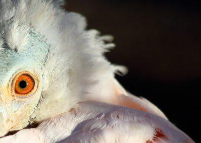 ojo-naranja-pajaro