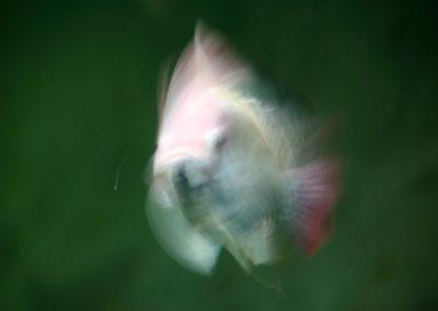 pez-blanco-03